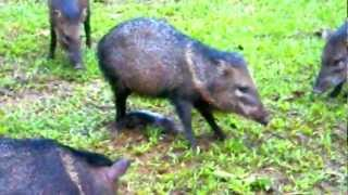 Birth of a peccary.AVI