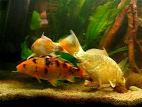Koi carp in aquarium youtube for Carp in a fish tank