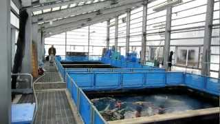 Niigata Japan Koi Fish Farm Tour - Breeder: Izumiya Koi Farm