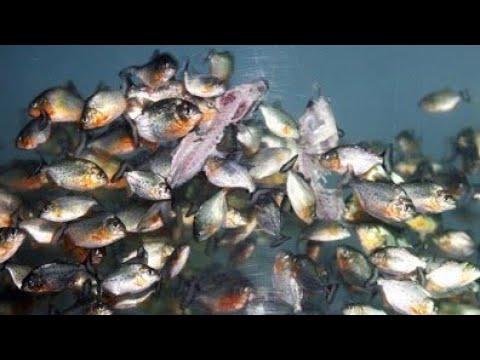 25 Kumpulan Ikan Piranha Makan Youtube