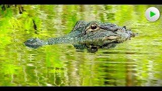 Königreich der Alligatoren - Natur Doku in voller Länge I Dokumentarfilm Tiere HD 2018