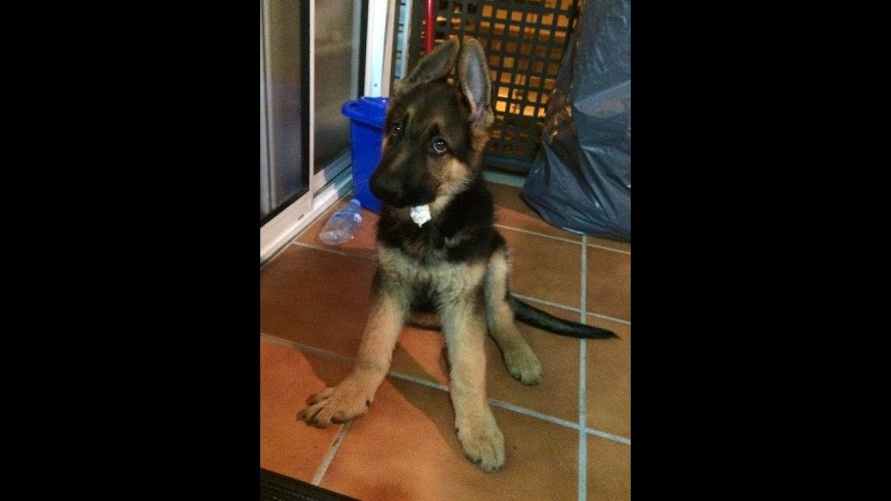 cutest german shepherd puppy 01 chasing a stick youtube. Black Bedroom Furniture Sets. Home Design Ideas