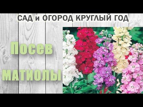 Цветок левкой Рассада левкой Выращивание левкой