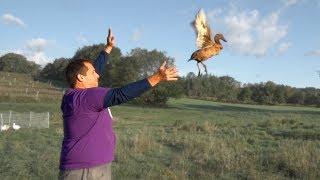 Can farm ducks fly?