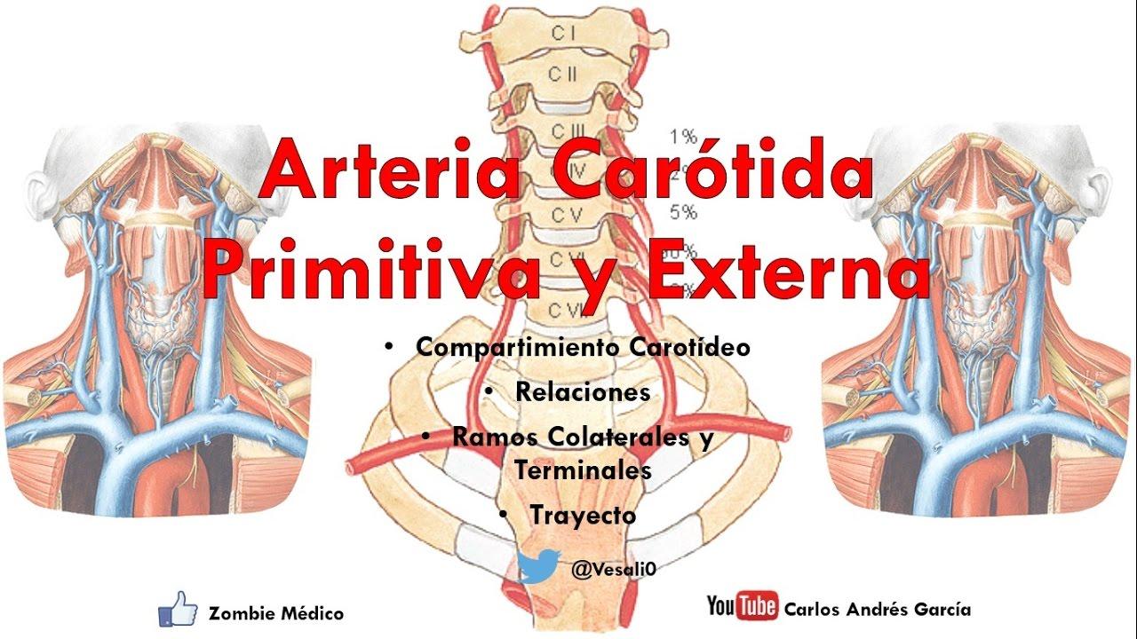 Anatomía - Compartimiento Carotídeo y Arterias Carótida Común y ...