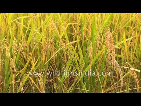 Paddy fields of Punjab : Rice production in India