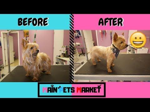 Yorkshire Terrier Training Video Funnydog Tv