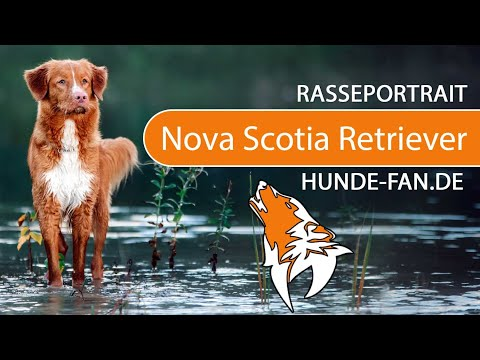 Nova Scotia Duck Tolling Retriever [2019] Rasse, Aussehen & Charakter