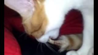 кот грызет свой хвост
