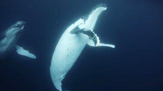 Cicada – 鯨 Whale Family《不在的你們都去了哪裡》White Forest