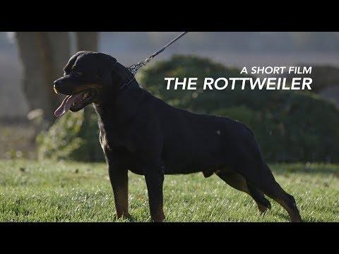 A SHORT FILM: THE ROTTWEILER