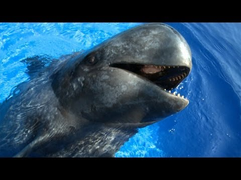 Sully the Pilot Whale | JONATHAN BIRD'S BLUE WORLD