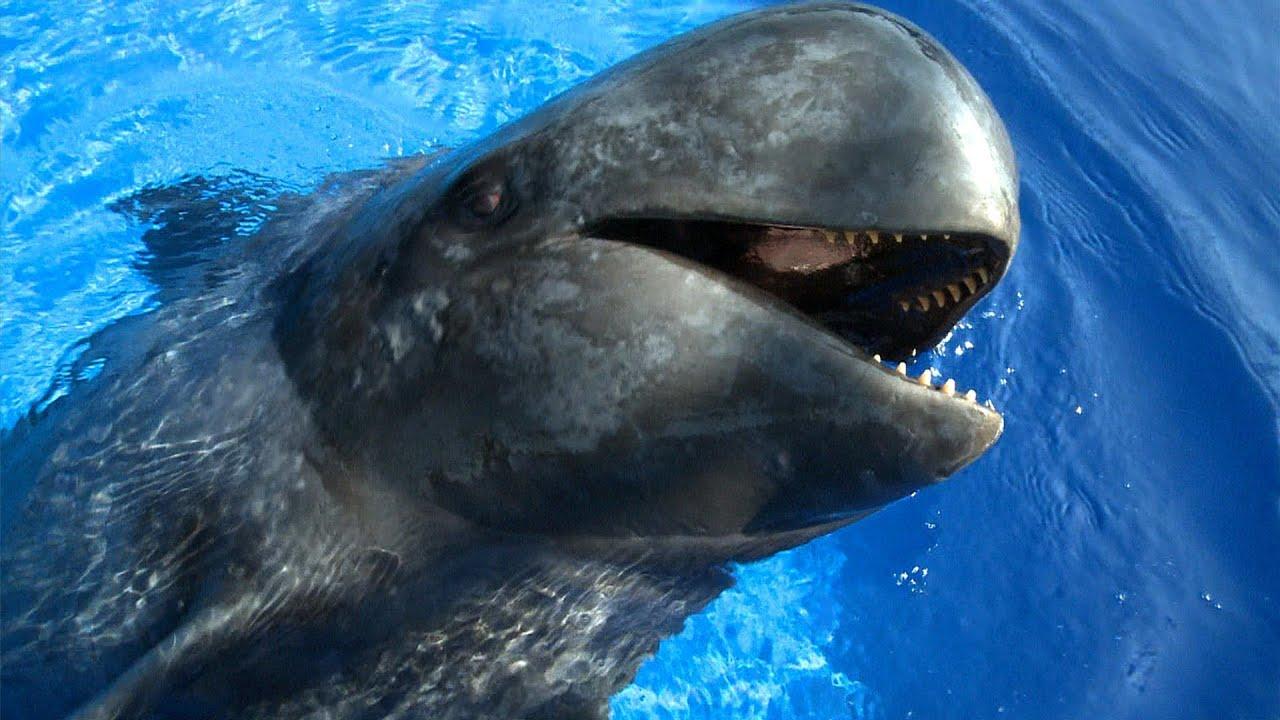 Jonathan Bird's Blue World: Sully the Pilot Whale - YouTube