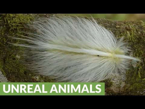 Caterpillar disguises as feather to escape hungry birds