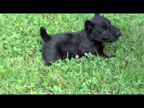 Scottish Terrier Puppies at Four Weeks - and Pepper
