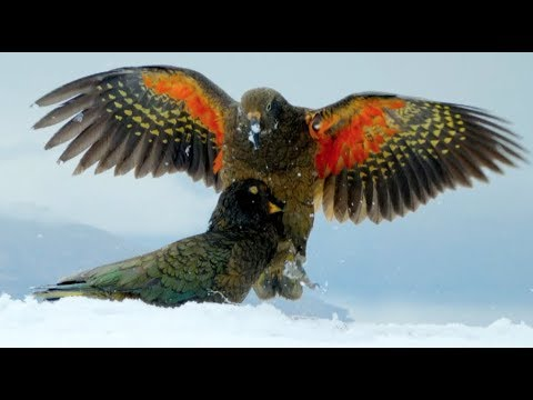 Kea Parrots Play With Snowballs & Discover One To Be Particularly Intriguing!