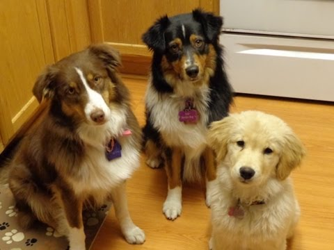 Feeding Routine with Golden Retriever Puppy and Australian Shepherds