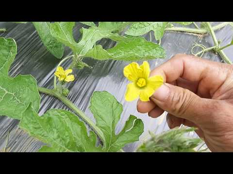 Kĩ thuật trồng dưa hấu p5 thụ phấn bổ sung cho cây dưa hấu