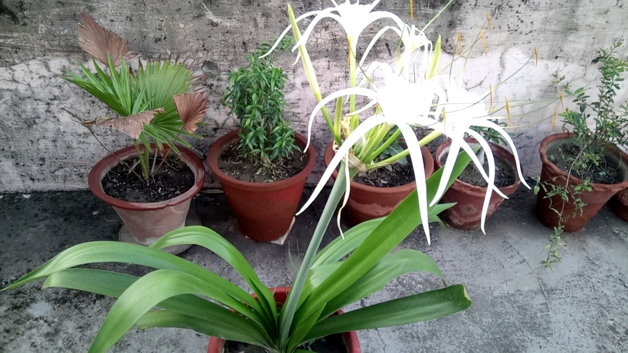 How to grow and care spider lilly plant total information on how to grow and care spider lilly plant total information on spider lilly izmirmasajfo