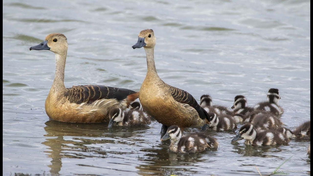 Keluarga Burung Belibis Kulim Lesser Whistling Duck Kedah Malaysia Youtube
