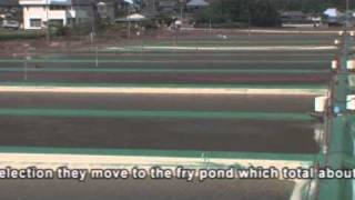 Official Momotaro Koi Farm Promotional Video