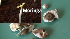 Moringa Oleifera durch Samen vermehren