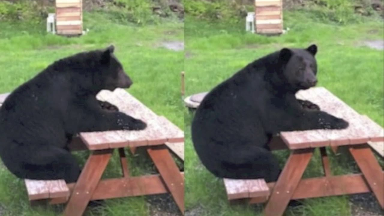 Black Bear Sits At A Picnic Table Like A Human Being Waiting For Dinner
