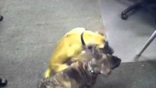 Boerboel X Great Dane 9 Week Puppies