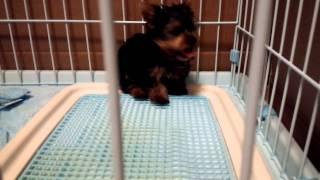 子犬ヨークシャーテリア2ヶ月、三日目♪ 【激萌え動画】お腹丸出しで眠...