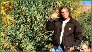 Nicotiana glauca, Tree Tobacco, Michael Cottingham, Southwest Herbalist Part 1