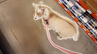 """Taking Pet Goat """"Steven"""" To The Store!!!"""