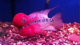 Turkish Red Dragon FlowerHorn