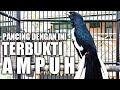 Ampuh Pancingan Kacer Jitu Jadikan Kacer Lain Emosi Gacor Dan Buka Ekor  Mp3 - Mp4 Download