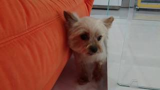 After trimming.Ume,YorkshireTerrier male.with Pops Himalayan catヨ...