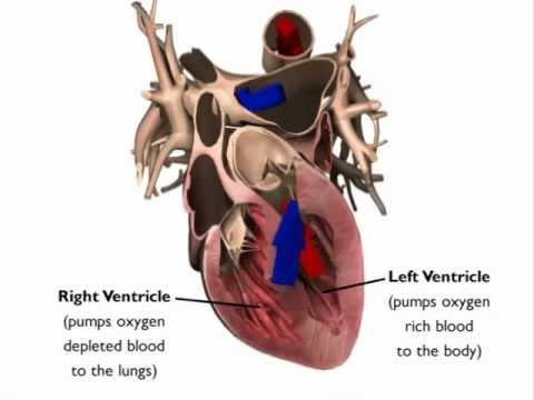 Heart Animation: Heart Anatomy - YouTube