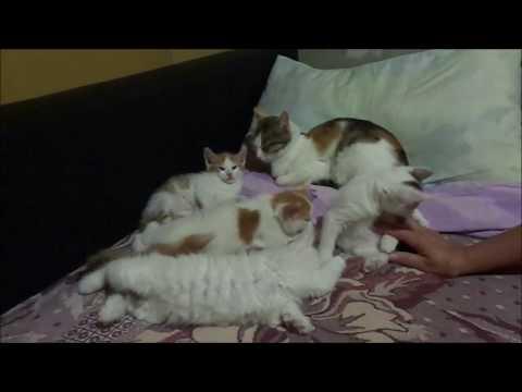 Наши котята /funny kittens. Reneya FEV