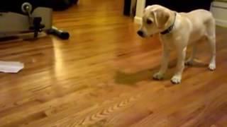 Dogs training 16 week labrador retriever puppy dog training and tricks