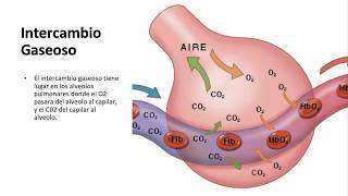 Capilares com respiratório o como os trabalham sistema
