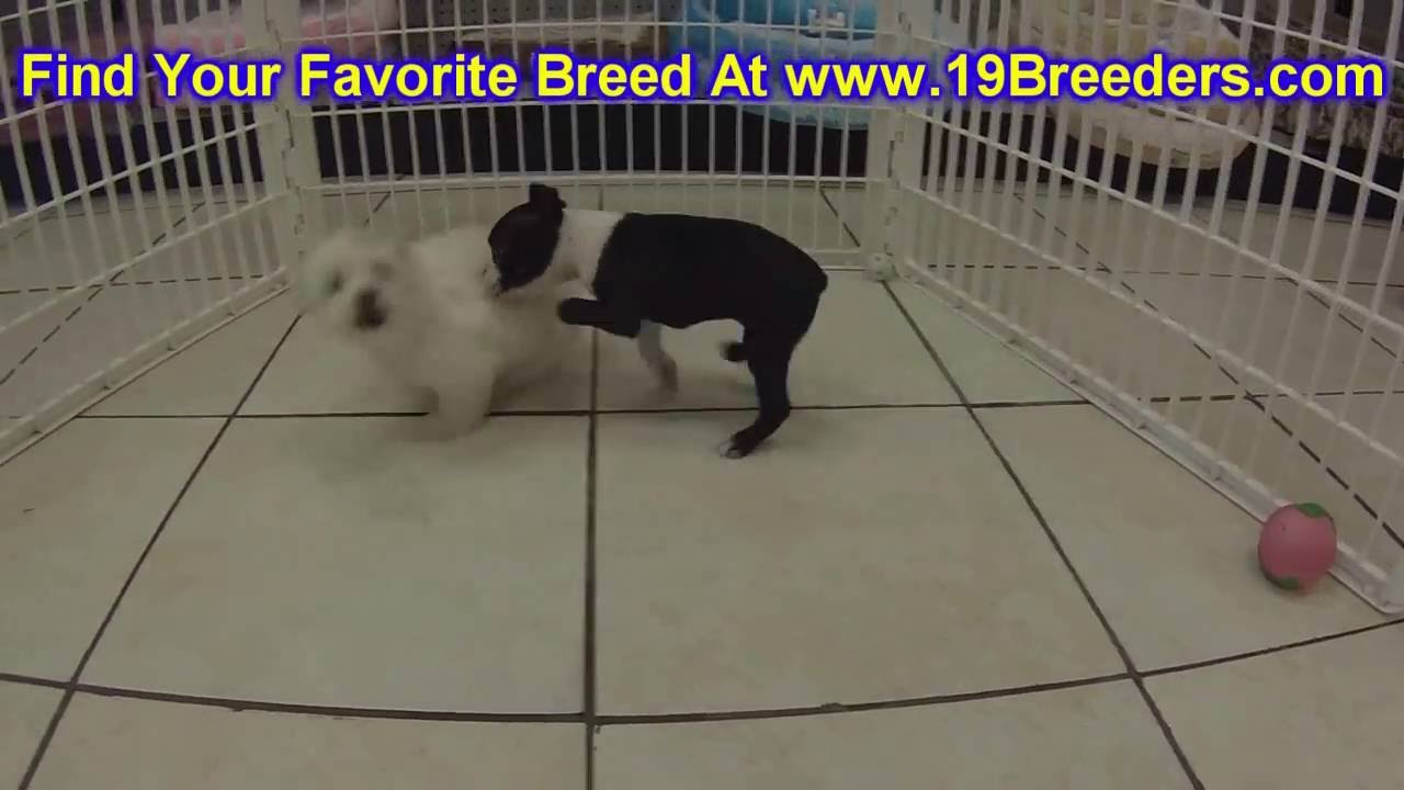 Boston Terrier, Puppies, Dogs, For Sale, In Miami, Florida ...