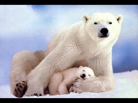 Documentaire // L'ours polaire // ☆ Extinction d'une espéce  ☆【FR】