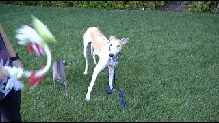 Download Meet Bunny Our Rescue Greyhound Mp3 and Videos