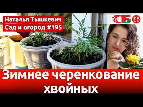 Черенкование хвойных растений в домашних условиях