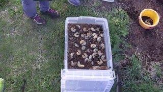 10/3に、実家の堆肥の山から採取したカブトムシの幼虫を、2頭だけ持ち帰...