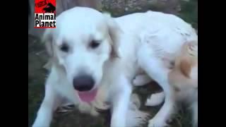 Sex Animal Planet Dog Mating