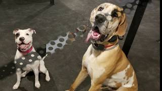 Saratoga Dog Trainers / Clifton Park Dog Trainers / 9 Month Old Great Dane, Gadget