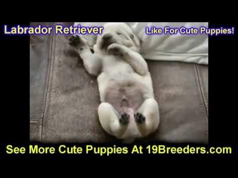 Labrador Retriever, Puppies, Dogs, For Sale, In Birmingham, Alabama, AL, 19Breeders, Huntsville