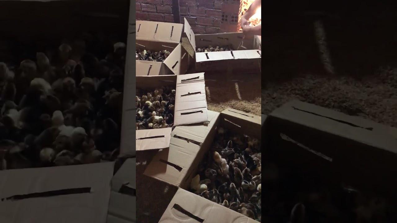 Cơ sở cung cấp giống gà ta thả vườn Thanh Bình Gò Công Tiền Giang