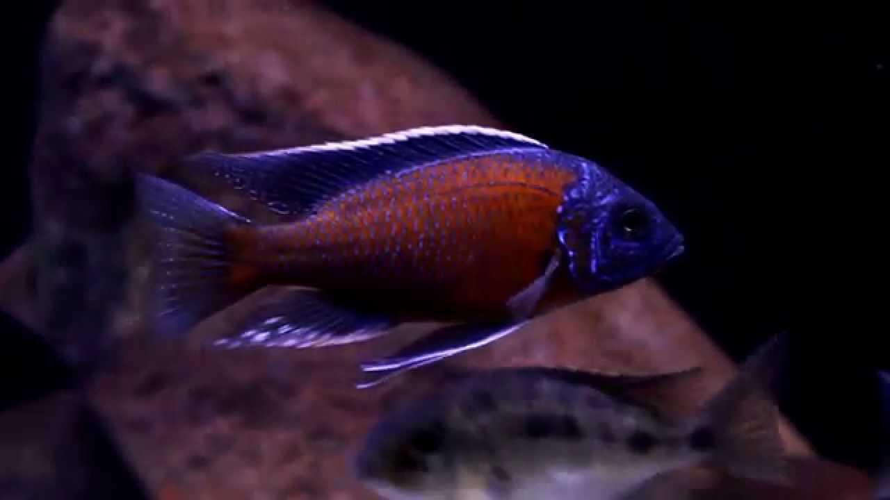 Copadichromis borleyi kadango the red fin borleyi 1080 hd Freshwater fish with red fins