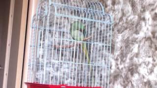 Александрийский попугай Гринни: Мяу-мяу! 1 год 9 месяцев!