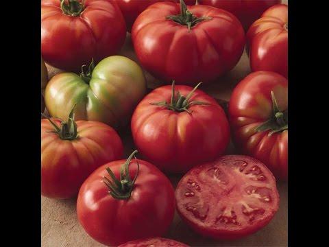 Champion Tomato  / Томат ( помидор ) сорта Чемпион / Высокорослый томат / 29 Августа 2016